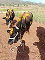 Cow from Bommidi.jpg