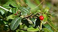 Cowberry (Vaccinium vitis-idaea) - Oslo, Norway (04).jpg