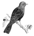 Cowbird (PSF).png