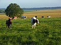Cows on Horse Down - geograph.org.uk - 490553.jpg
