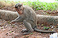 Crab eating Macaque.jpg