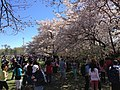 Crazy about cherry blossoms (8711597075).jpg