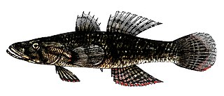 Butidae family of fishes