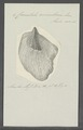 Crenatula avicularis - - Print - Iconographia Zoologica - Special Collections University of Amsterdam - UBAINV0274 075 07 0003.tif