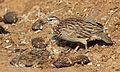 Crested Francolin, Dendroperdix sephaena, feeding in dung at Pilanesberg National Park, Northwest Province, South Africa (29232364644).jpg