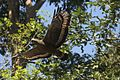 Crested Serpent Eagle DAvid Raju.jpg