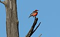 Crimson Chat (Epthianura tricolor) (31281102101).jpg