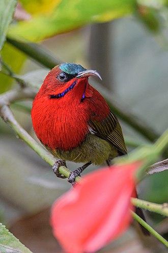 Crimson - Crimson sunbird
