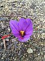 Crocus sativus.JPG
