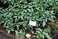 Crossandra nilotica - Botanischer Garten - Heidelberg, Germany - DSC01052.jpg