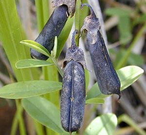 Utetheisa ornatrix - Mature pods of the rattlepod, Crotalaria retusa