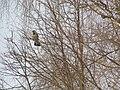Crow spring.Ворона весной - panoramio.jpg