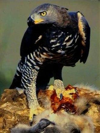 Stephanoaetus - Crowned eagle (Stephanoaetus coronatus)
