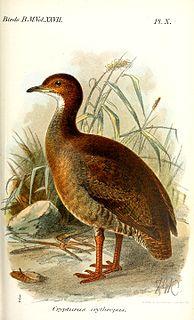 Red-legged tinamou Species of bird