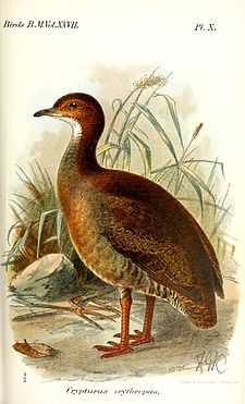 CrypturusErythropusKeulemans.jpg