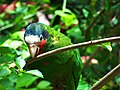 Cuban Amazon Parrot Grand Cayman Island.jpg