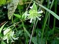 Cucubalus baccifer var. japonicus 2.JPG