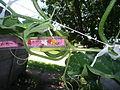 Cucurbita moschata (zapallo espontáneo) flor fruto F06 dia05 fruto no cuajado.JPG
