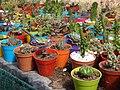 Cultivo de cactus en macetas.jpg