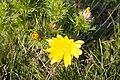 Cvet Gorocveta - Adonis vernalis.jpg
