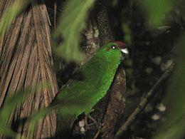 Cyanoramphus cookii -Palm Glen, Norfolk Island, Australia-8