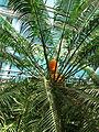 Cycas circinalis (in a greenhouse) 01.JPG