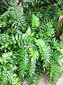 Cyrtomium falcatum2.jpg
