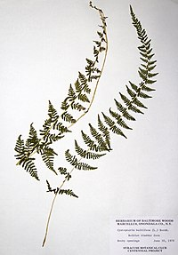 Cystopteris bulbifera BW-1979-0630-0550.jpg