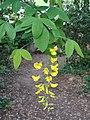 Cytise Laburnum × watereri.jpg