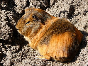 Checua - As at Tequendama and Aguazuque, abundant remains of the domesticated guinea pig have been found at Checua
