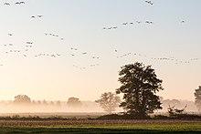Au lever du soleil dans un ciel clair des oies avancent en lignes.