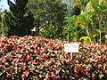 Da Lat Flower Park - Impatiens walleriana.jpg