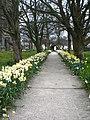 Daffodil-lined path - geograph.org.uk - 1801167.jpg
