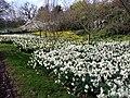 Daffodils, Greenwich Park, London - geograph.org.uk - 2336402.jpg