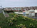 Daffodils near Saltdean Lido - geograph.org.uk - 1773525.jpg
