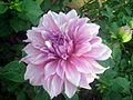 Dahlia flower 5.JPG
