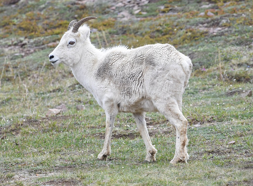 https://upload.wikimedia.org/wikipedia/commons/thumb/1/17/Dall_Sheep_Ewe_%280968efe1-d032-4834-bada-bb862e09ddfb%29.jpg/1024px-Dall_Sheep_Ewe_%280968efe1-d032-4834-bada-bb862e09ddfb%29.jpg