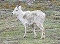 Dall Sheep Ewe (0968efe1-d032-4834-bada-bb862e09ddfb).jpg
