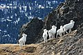 Dall sheep in Chugach State Park, Alaska.jpg