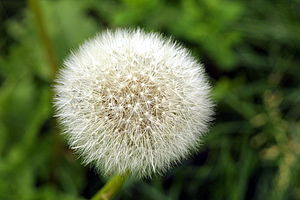 "English: A dandelion clock (""wishie""..."