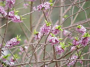 Species: Daphne mezereum Family: Thymelaeaceae...