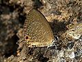 Dark Cerulean Jamides bochus by Dr. Raju Kasambe IMG 3603 (11).jpg