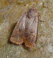 Dark Chestnut. Conistra ligula - Flickr - gailhampshire.jpg