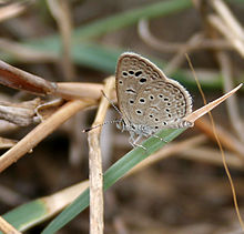 Dark Grass Blue (Zizeeria karsandra) in Hyderabad, AP W IMG 7950.jpg