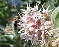 Daroga State Park. Bee and Milkweed Flowers.jpg