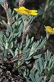 Dasiphora fruticosa 5699.jpg