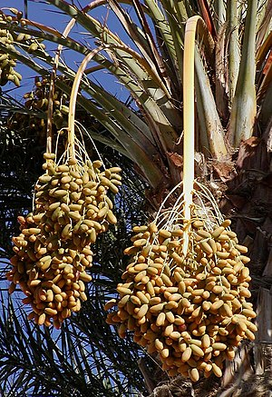 Date palm - Dates on date palm