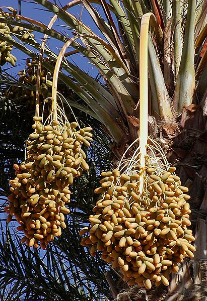 dates. File:Dates on date palm.jpg