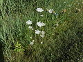 Daucus carota - 01.jpg