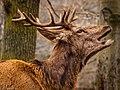 Deer (252944879).jpeg